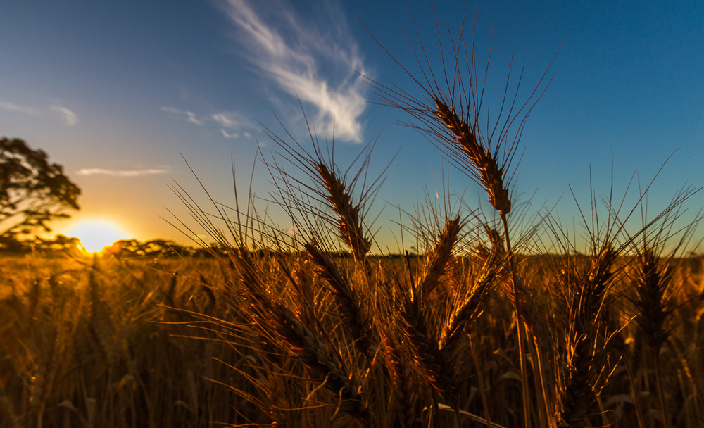 Wills-estate-planning-farmers-wheat-crop-sunset